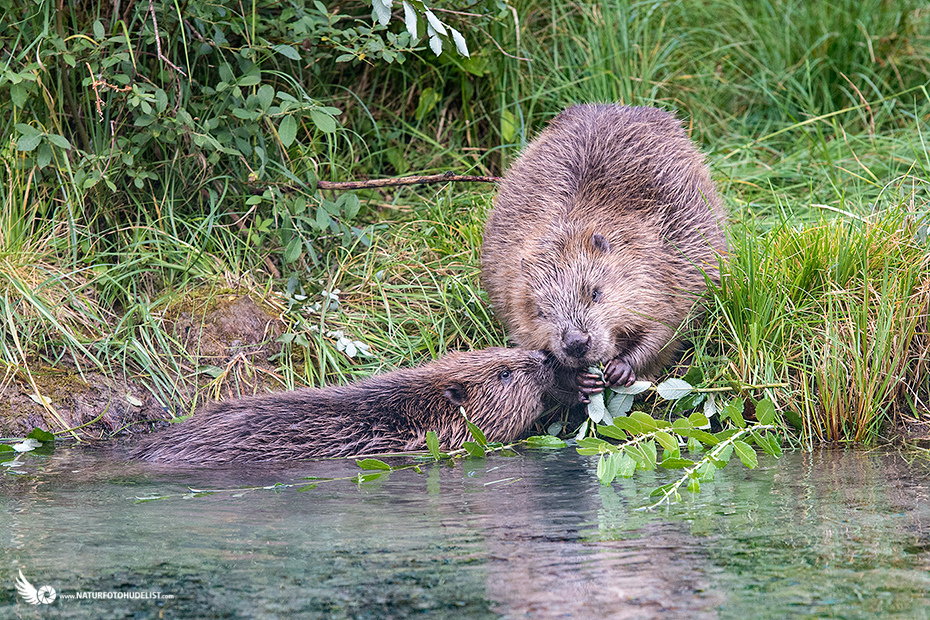 Hungry young beaver