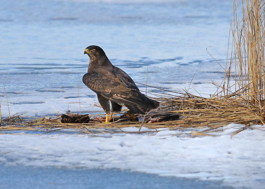 buzzard(Buteo buteo) with catch