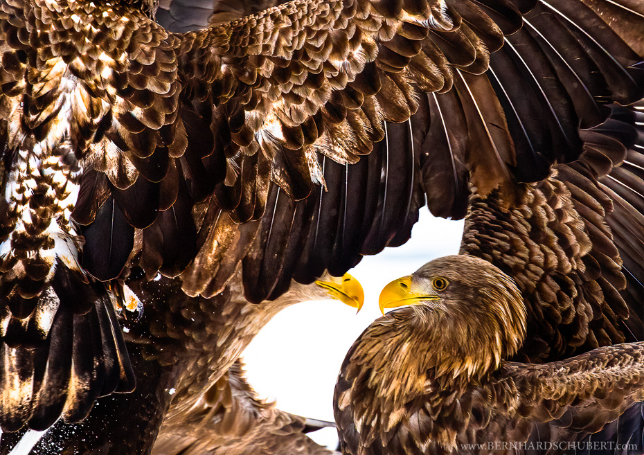 Fighting white-tailed eagles