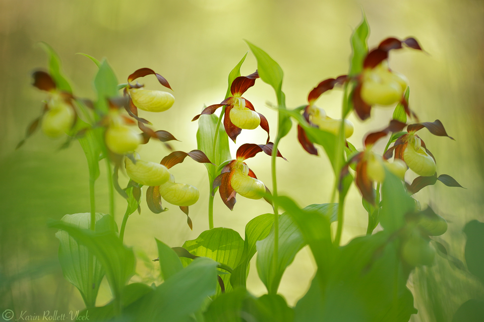 In the lady's slipper forest
