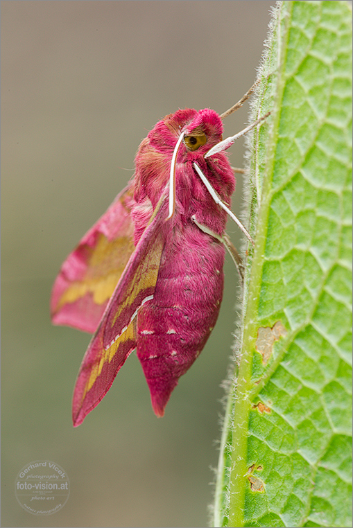 Pinki - small elephant hawk moth