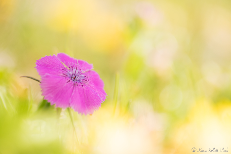 Alpine pink