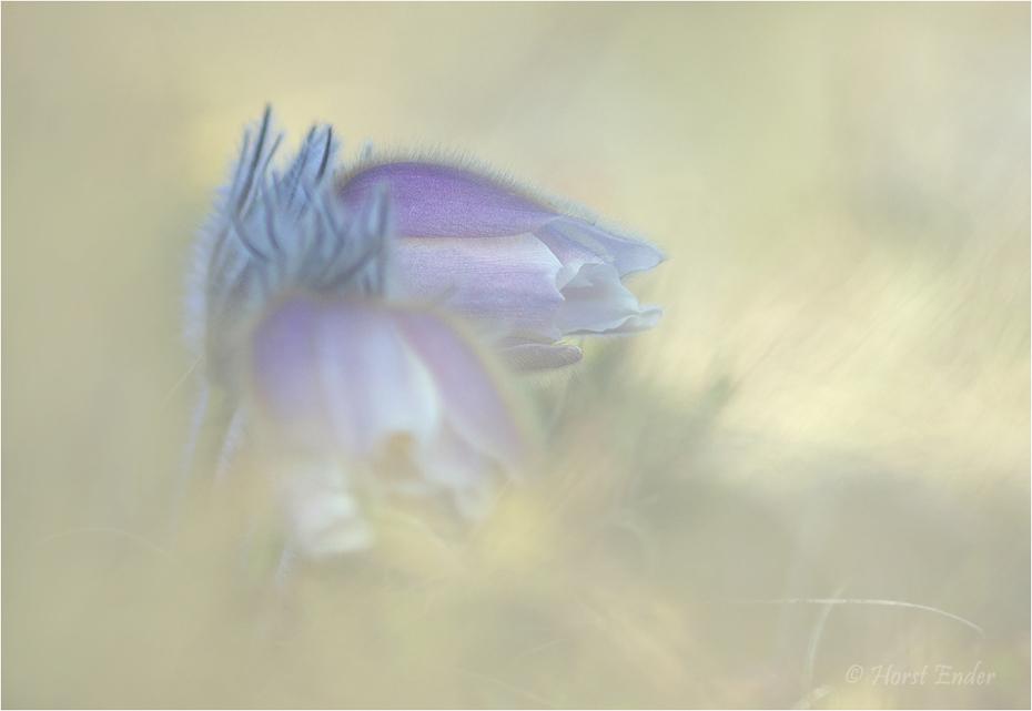 Pulsatilla Vernalis