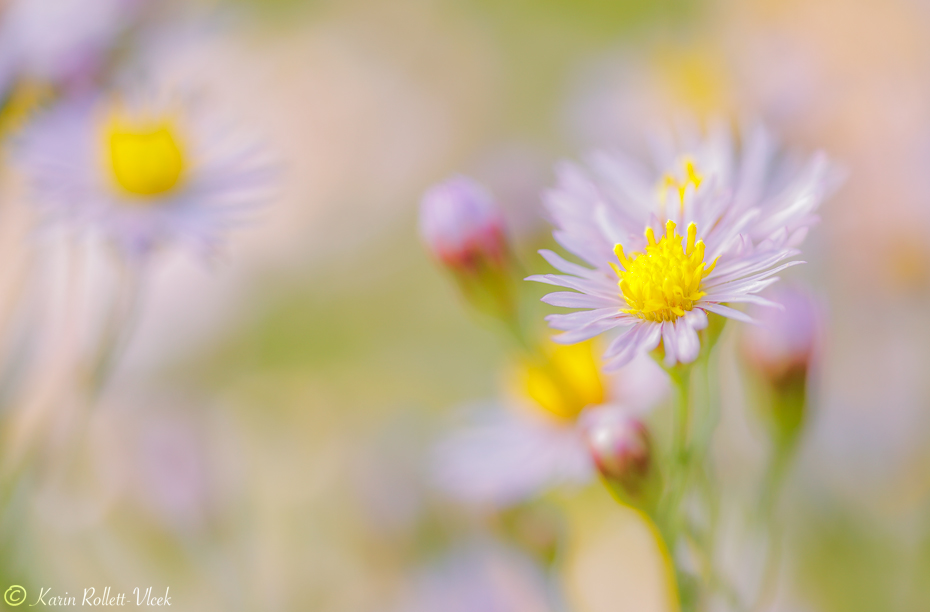 Sea-side aster