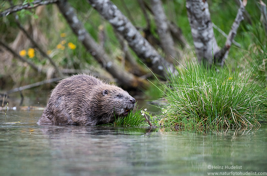 Beaver(Castor fiber)