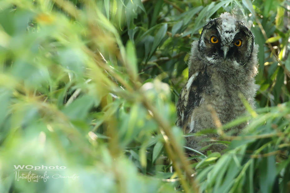Youngster - Long eared Owl
